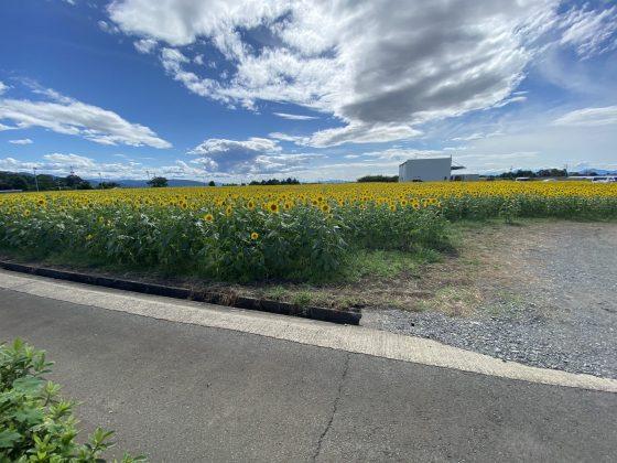 空港手前ひまわり畑